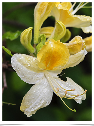 Azalea-Droplets Z0054
